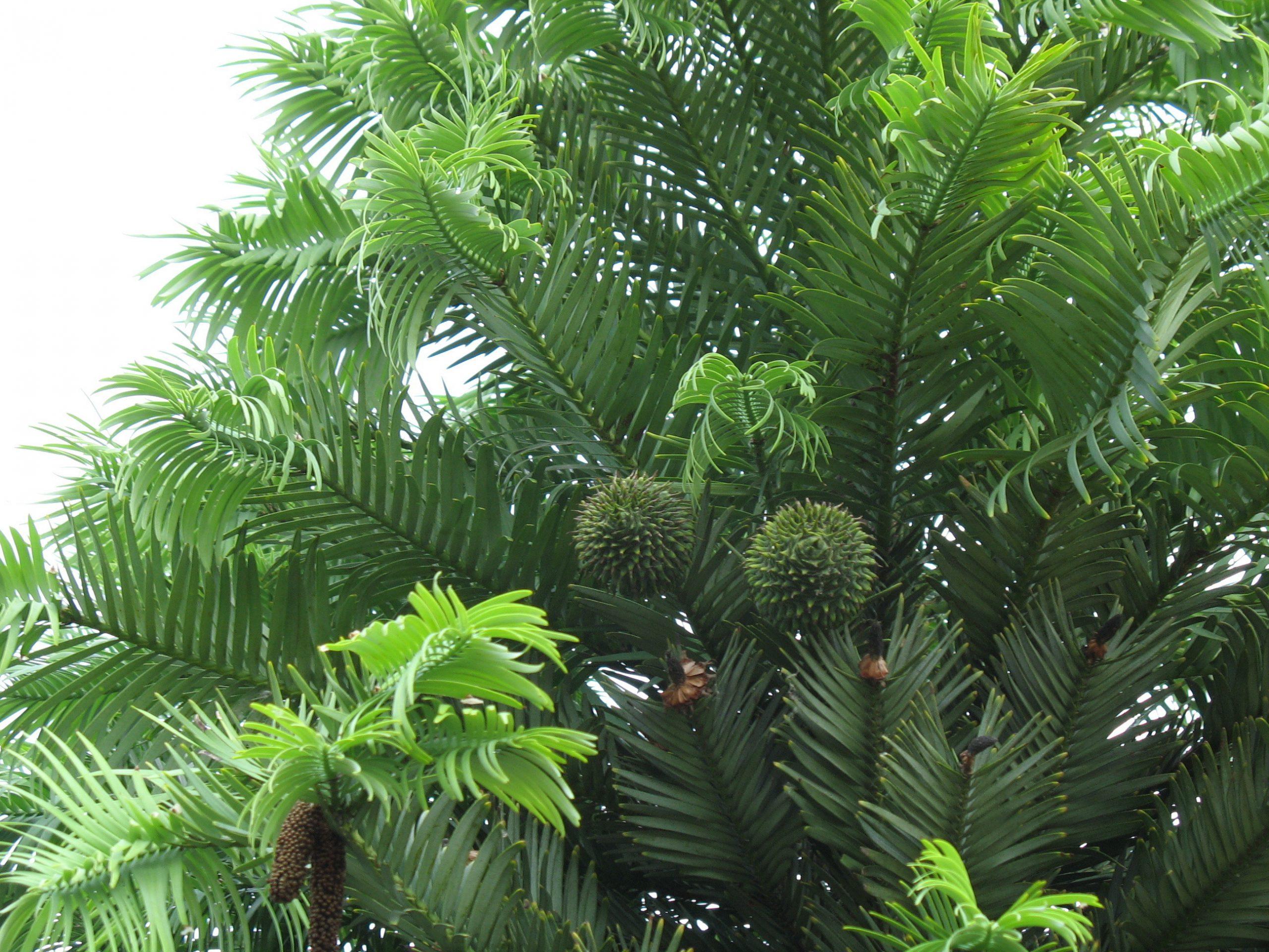 De Wollemi pine (Wollemia nobilis)